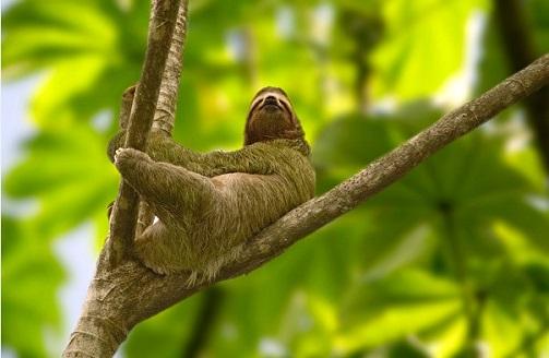 Le paresseux devient un symbole national au Costa Rica