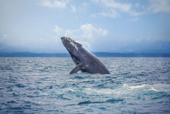 La saison d'observation des baleines au Costa Rica est là !