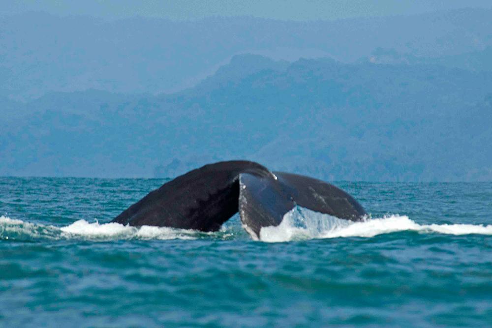 ballena-jorobada-parque-nacional-marino-ballena-costa-rica