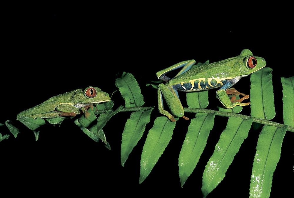 rana-calzonuda-parque-nacional-piedras-dulces-costa-rica
