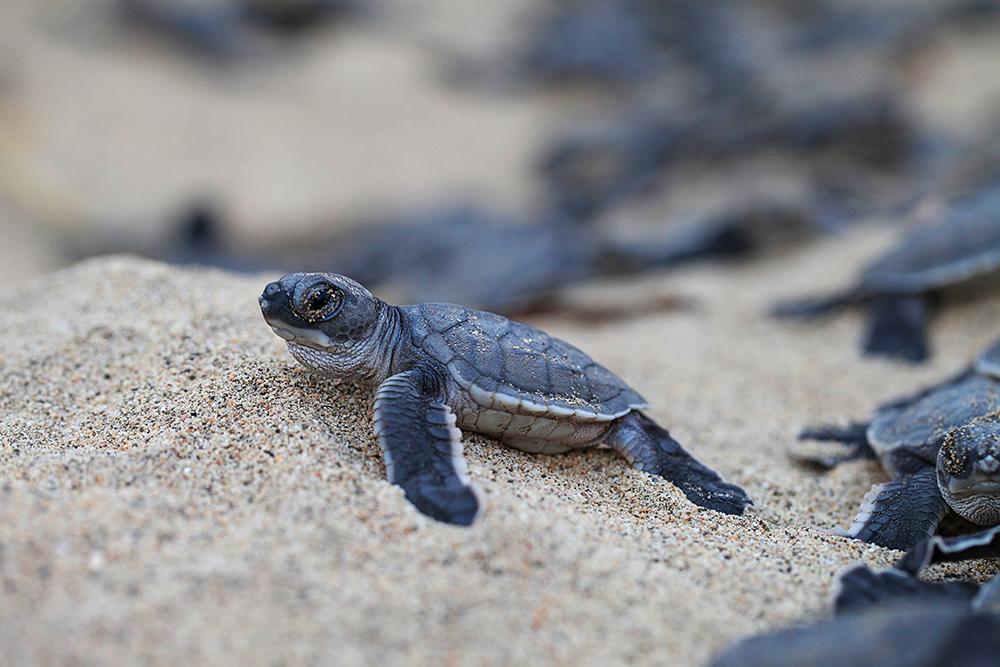 tortuga-baby-costa-rica-1