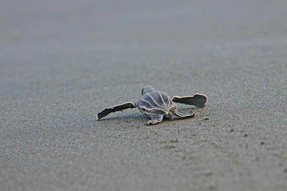 tortuga-baby-costa-rica