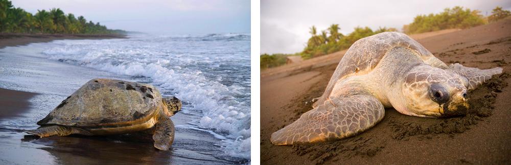 tortuga-costa-rica-2