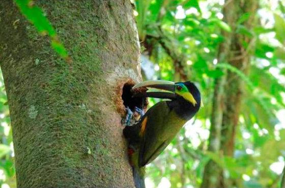 Científicos logran documentar por primera vez un nido del tímido tucán orejiamarillo
