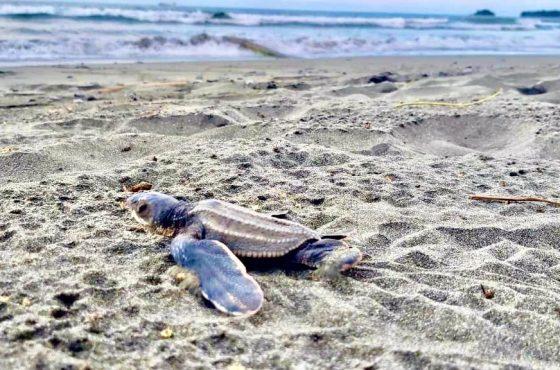 Más de 70 mil tortugas marinas  han sido liberadas en Moín