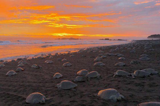 Miles de tortugas arriban a las playas de Ostional
